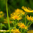 Stock Photo: Yellow daisy (spring daisy) in meadow