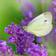 Stock Photo: Butterfly on lavender