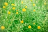 Fleurs jaunes à floraison, au printemps — Photo