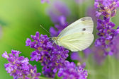 Butterfly on lavender — Stock Photo