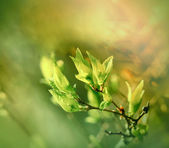 Fresh, young, green spring leaves — Stock fotografie