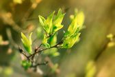 Fresh, young, green spring leaves — Stok fotoğraf