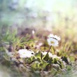 Stock Photo: Little daisy (spring daisy) in meadow