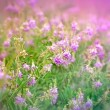 Stock Photo: Purple wild flower (meadow flower) in spring