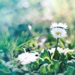Stock Photo: Beautiful little daisy (spring daisy) in grass