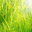 Spring grass covered with morning dew — Stock Photo