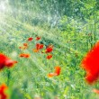 Stock Photo: Red  poppy flowers in grass (in meadow)