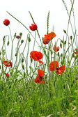Red  poppy flowers in grass (in meadow) — Stock Photo