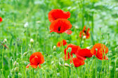 Red  poppy flowers in grass (in meadow) — Stok fotoğraf