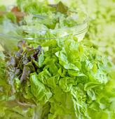Fresh organic lettuce — Stock Photo