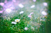 Daisy - Spring daisy in a meadow — Foto de Stock