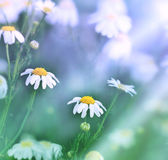 Daisy - Spring daisy in a meadow — Stock Photo