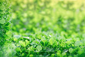 Meadow clover in early spring — Stock Photo