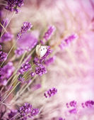 White butterfly on lavender — Stock Photo