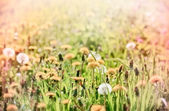 Tarassaco in primavera — Foto Stock