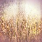 Harvest has begun - field of wheat — Stock Photo #44661537