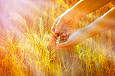 Rays of the setting sun on hands of farmer - wheat in hands — Stock Photo