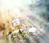 Little daisy (spring daisy) illuminated by sunlight — Stock Photo