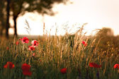 Sunset on meadow with poppy flowers and grass — Stock Photo