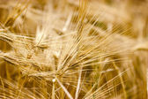 Cereal field - crop field in late afternoon — Stock Photo