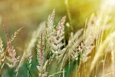 High grass bathed in sunlight — Stock Photo