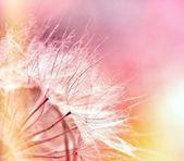 Beautiful dandelion seeds — Stock Photo