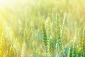 Beautiful wheat field illuminated by the sunlight — Stock Photo