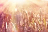 Late afternoon on a wheat field — Stock Photo