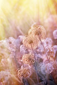 Beautiful softness flower - fluffy flower — Stock Photo