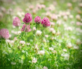 Flowering red clover in meadow — Stock Photo