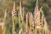 Beautiful high grass — Stock Photo