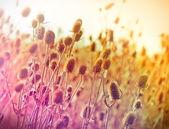Thistle field - feld of dry thistle (dry burdock) — Stock Photo