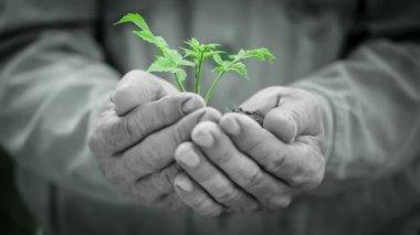 Gamla mans händer som håller gröna unga växten. ekologi koncept — Stockvideo
