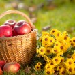 Basket with red apples in autumn — Stock Photo