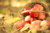 Basket full of red juicy apples — Foto de Stock