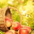Red apples in autumn garden — Stock Photo #31369205