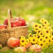 Stock Photo: Basket with red apples in autumn