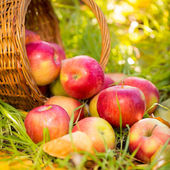 Red apples in autumn outdoors — Stok fotoğraf