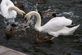 The Fight For Bread. Swans and ducks fight for bread in a pond — Stock Photo