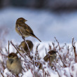 Who Has Said Miaow? Alerted sparrows on a branch covered with ice in a wintertime - Stock Photo