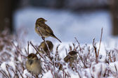 Who Has Said Miaow? Alerted sparrows on a branch covered with ice in a wintertime — Stock Photo
