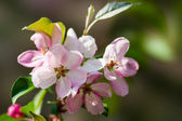 Pink apple blossom — Stock Photo