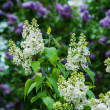 White lilacs — Stock Photo #25661355