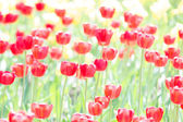 Sun Drenched Tulips — Stock Photo