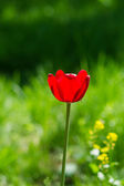 Sun Drenched Tulip — Stock Photo