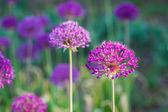 Allium flowers — Stock Photo