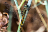Dragonfly resting — Stock Photo