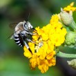 Stock Photo: Bee apis mellifica