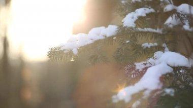 Branches d'arbres sapin avec de la neige au premier plan - glisser et se concentrer lecture — Vidéo