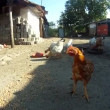 Stock Video: Chickens in courtyard